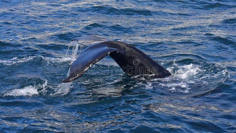 Buckelwal, der vor der Küste von Husavik schwimmt stockbild