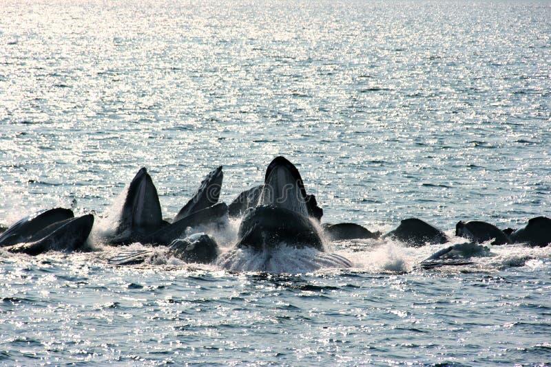 Buckelwale Luftblasenetz Speicherung lizenzfreie stockbilder