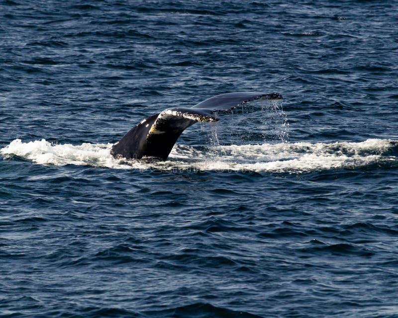 Buckelwalspritzen und -tauchen lizenzfreie stockfotografie