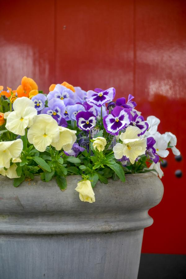 Bucket with colorful viola flowers, spring season in Netherlands, garden decoration. Close up stock photo