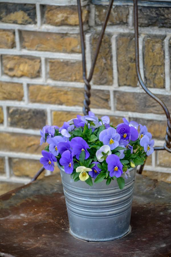 Bucket with colorful viola flowers, spring season in Netherlands, garden decoration. Close up royalty free stock photos