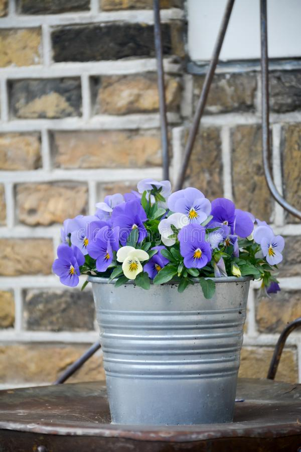 Bucket with colorful viola flowers, spring season in Netherlands, garden decoration. Close up stock image