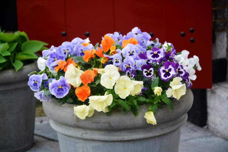 Bucket with colorful viola flowers, spring season in Netherlands, garden decoration. Close up stock photos