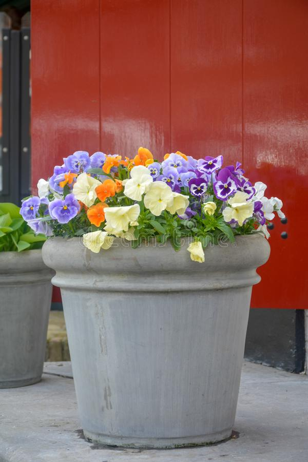 Bucket with colorful viola flowers, spring season in Netherlands, garden decoration. Close up royalty free stock image