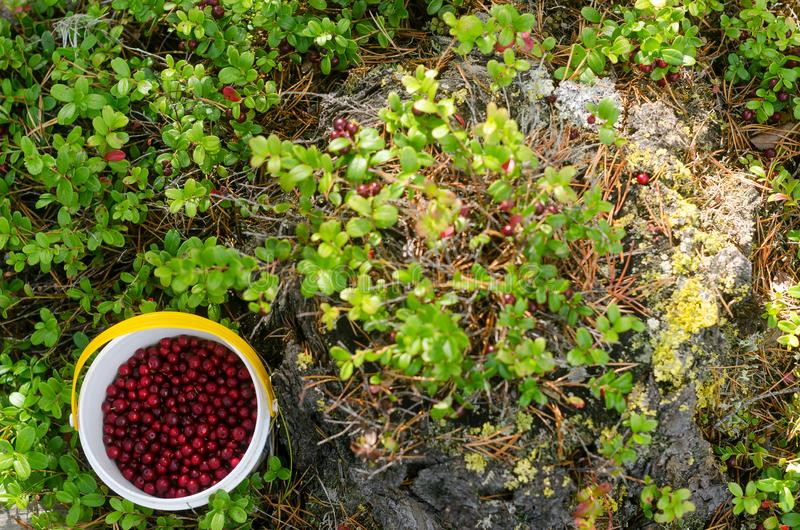 A bucket half-filled with red wild berry cranberries stands near the bushes of berries on the floor. The harvesting of wild crops. A bucket half-filled with red stock photos