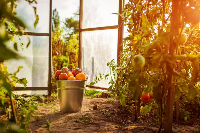 Bucket of red tomatoes at greenhouse on farm. Farming, gardening concept stock photo