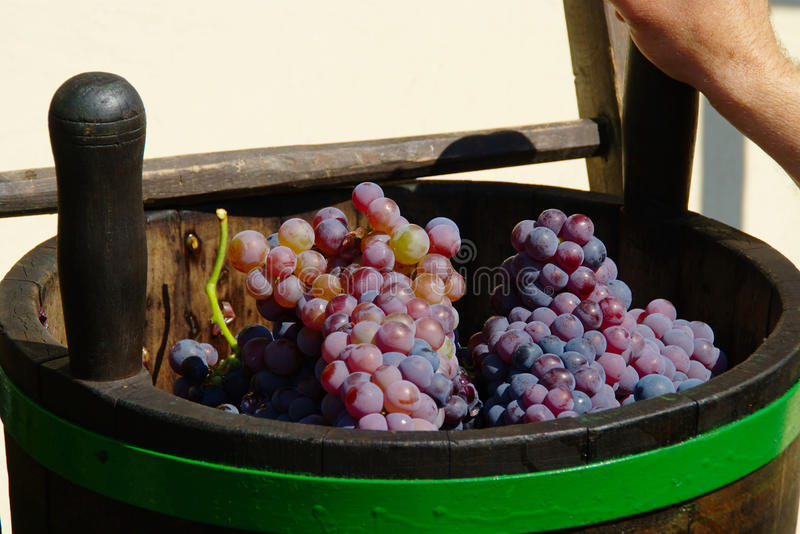 Bucket With Ripe Blue Wine Grapes royalty free stock photos