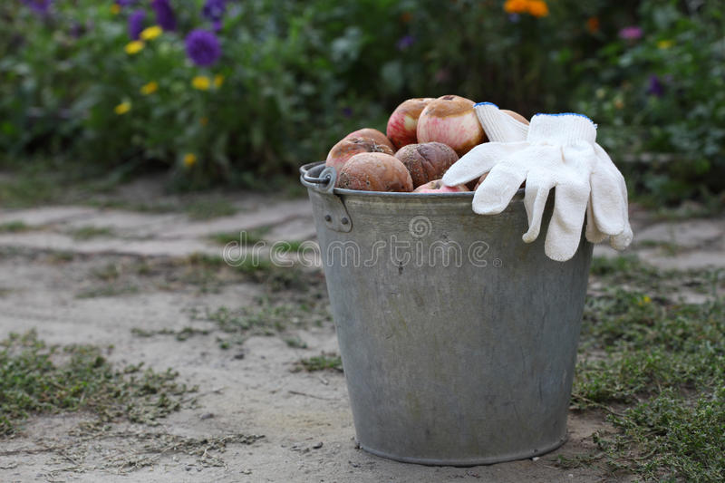 Bucket of rotten apples. With white gloves in the garden stock photo