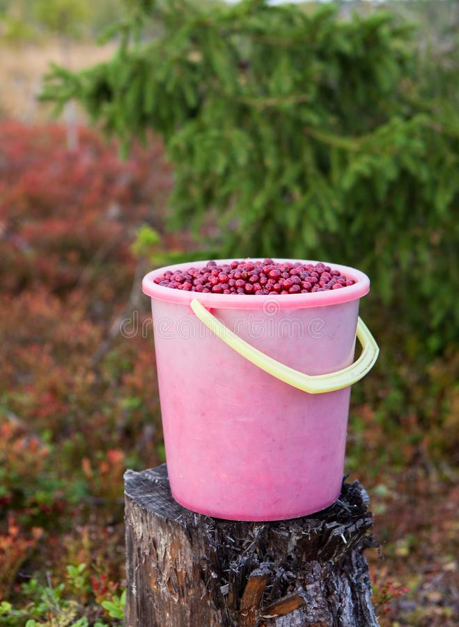 Free Bucket With Red Cranberries In The Karelian Forest, Russia Royalty Free Stock Photo - 103427065