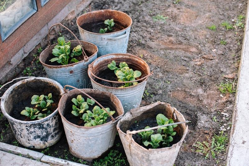 Buckets in a farmyard with young sprouts of potatoes. royalty free stock image