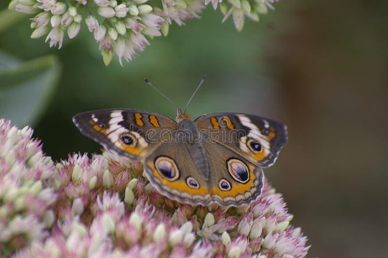 Buckeye butterfly royalty free stock photo