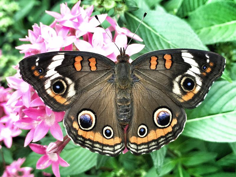 Buckeye Butterfly on a Pentas Plant royalty free stock photo