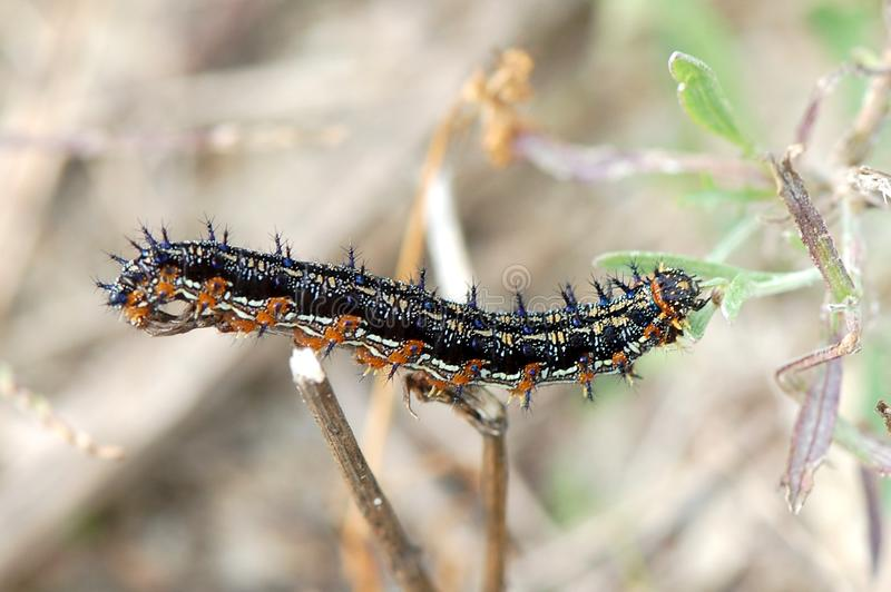 Buckeye Caterpillar zdjęcia stock