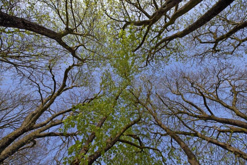 Buckeye drzewo w wiośnie fotografia royalty free