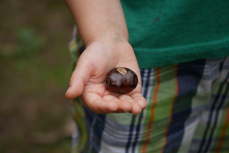 Buckeye i nära barns hand - upp royaltyfri fotografi