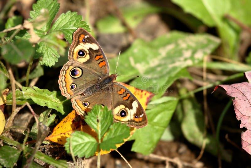 Buckeye motyl zdjęcie stock