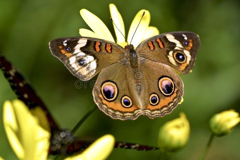 buckeye motyl obrazy royalty free
