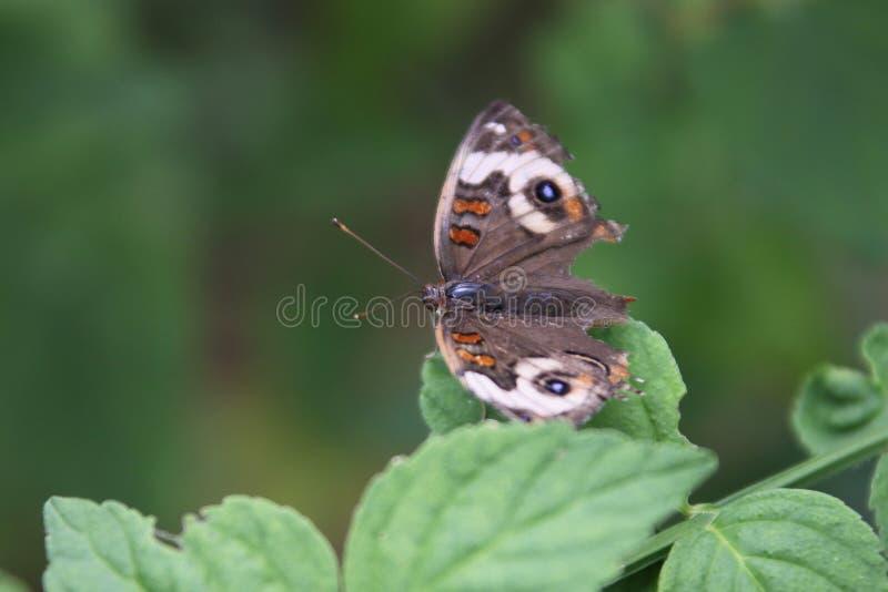 Buckeye motyl zdjęcia royalty free