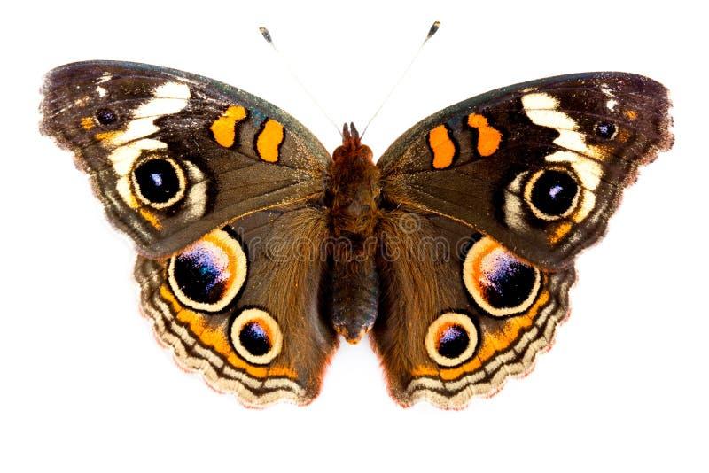 buckeye motyl zdjęcia stock