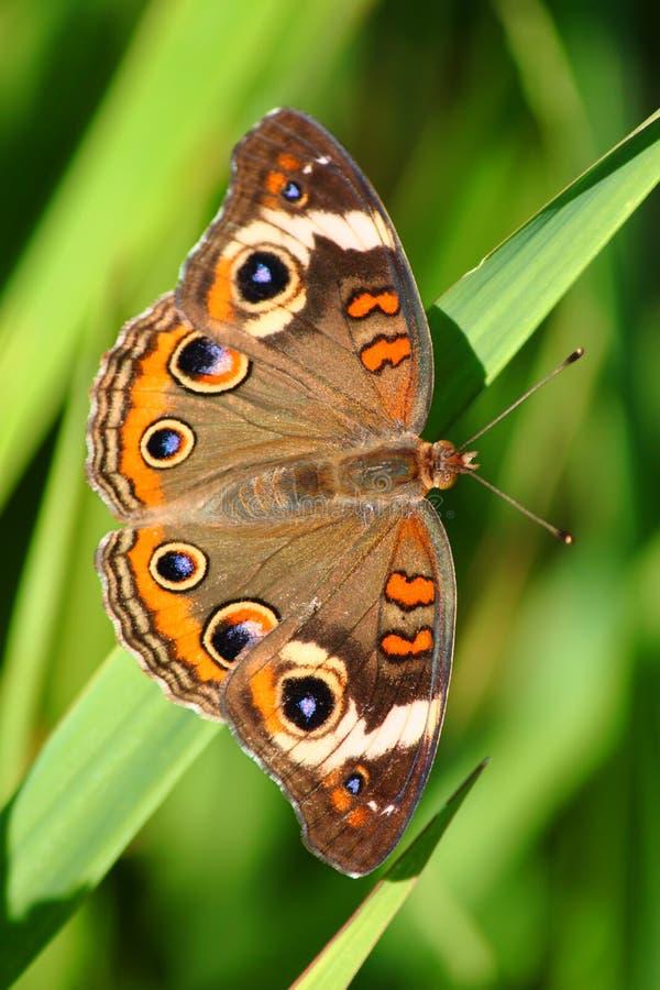 Buckeye motyl (Junonia coenia) zdjęcia stock