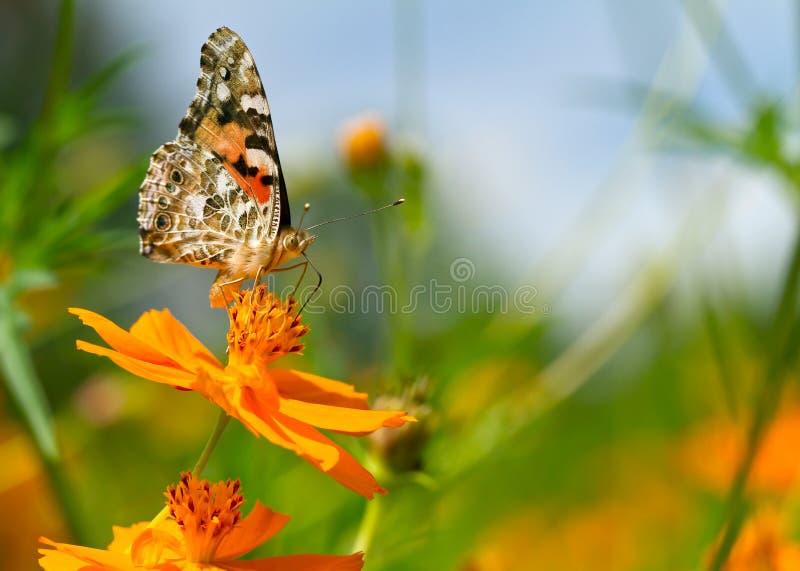 Buckeye motyl w kolorowym polu kwiaty. fotografia royalty free