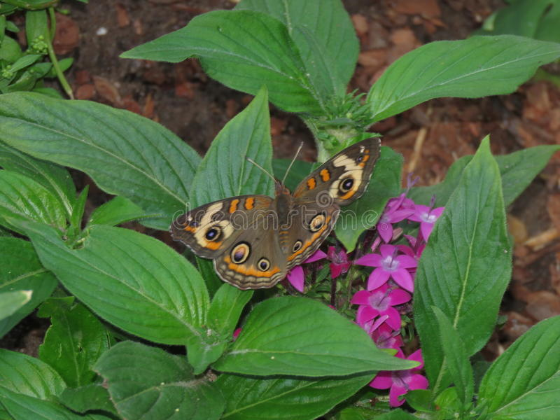 buckeye piękny motyl fotografia stock