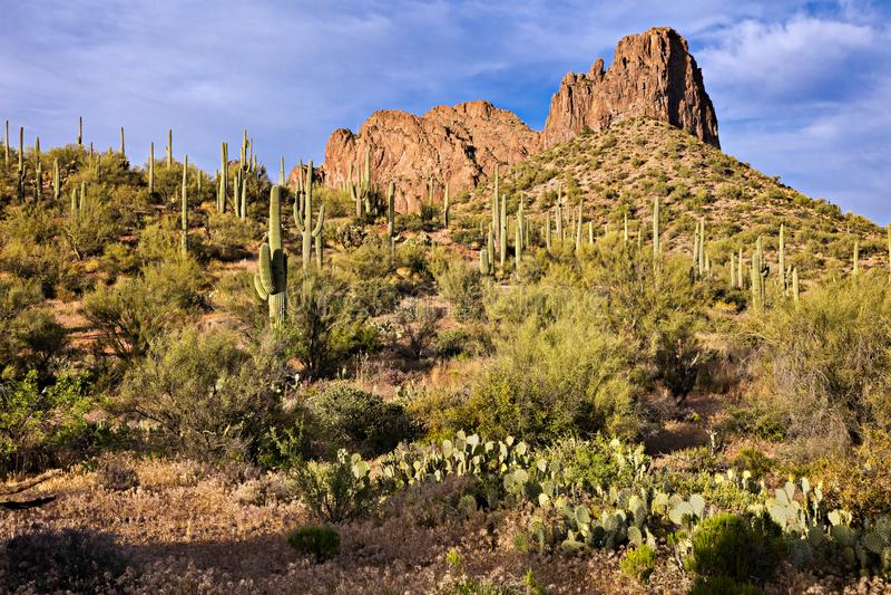 Buckhorn Cholla at sunset. Blooming Buckhorn Cholla and Saguaro in Sonoran Desert royalty free stock photography