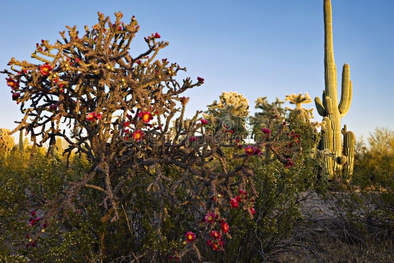Buckhorn Cholla at sunset. Blooming Buckhorn Cholla and Saguaro in Sonoran Desert stock images