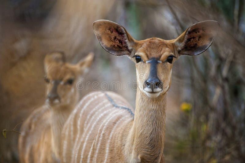 Buckin Sudafrica del Nyala fotografia stock libera da diritti