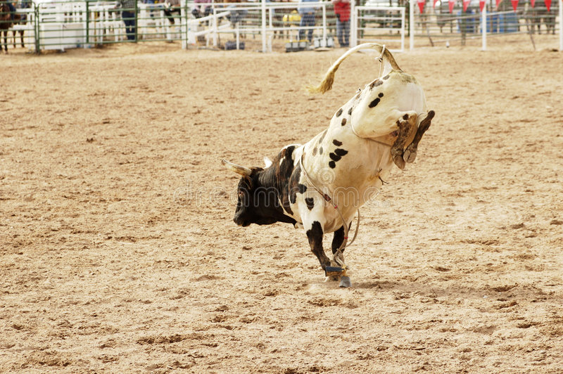 Bucking bull 1 royalty free stock image