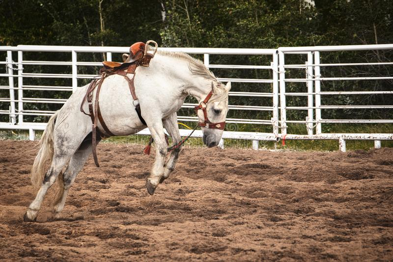 Bucking saddled white horse. Side profile of a saddled white horse bucking in the soft dirt of an outdoor arena royalty free stock images