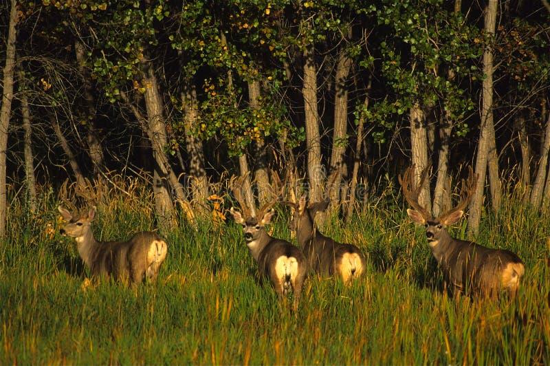 bucks бархат осляка оленей стоковая фотография rf