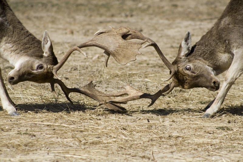 Bucks locking antlers stock images