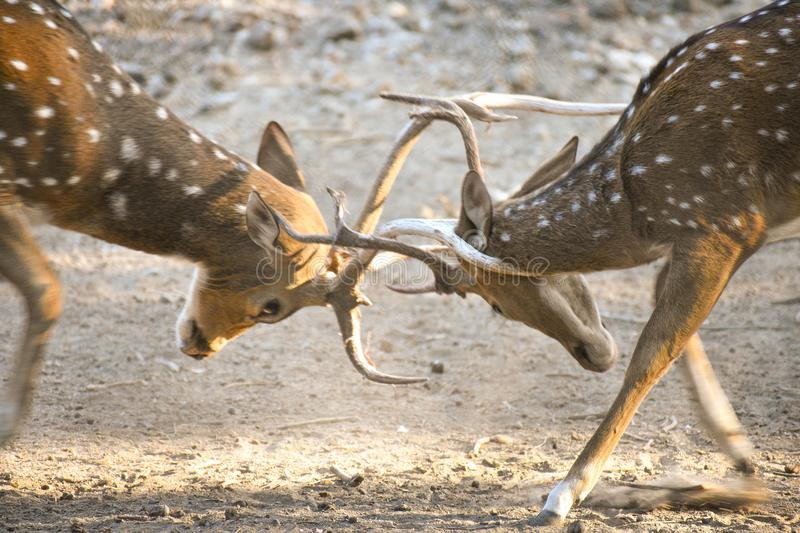 Bucks Still Looking for a Fight. Indian bucks deer fight for live better life stock image