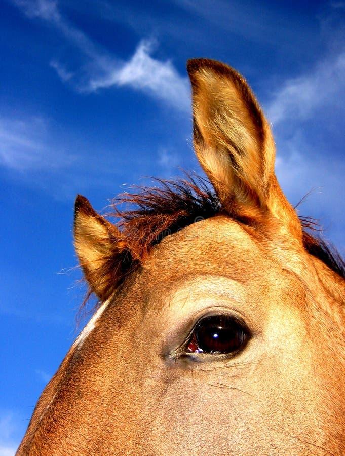 Buckskin Horse stock image