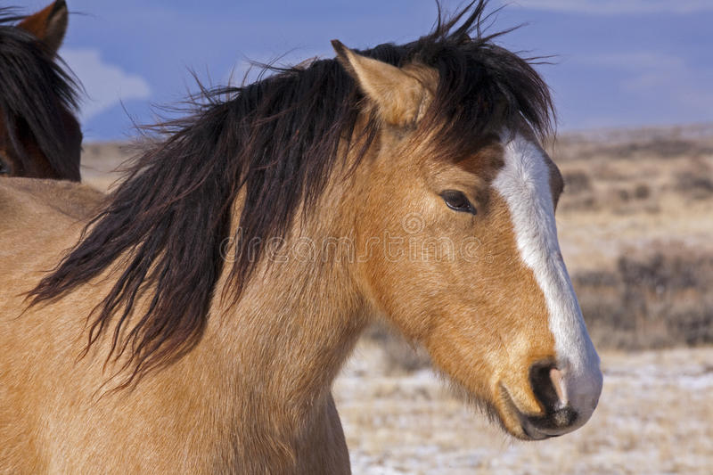 Buckskin Mustang with Black Mane. The wild mustangs horses in the McCullough Peaks of Wyoming are running stock image