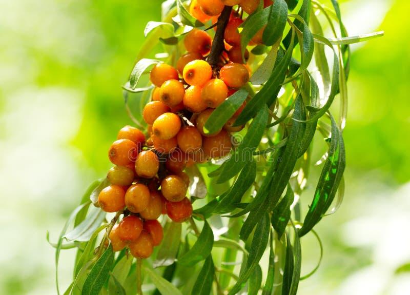 Buckthorn berries royalty free stock image