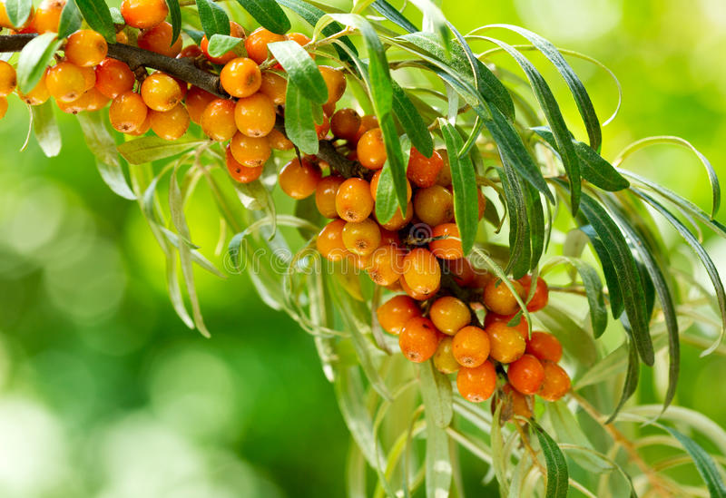 Buckthorn berries royalty free stock images