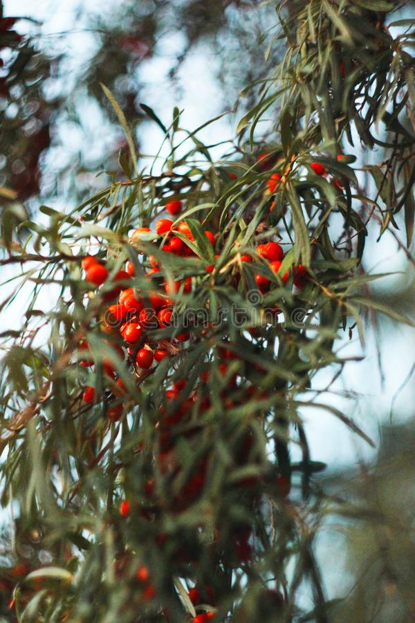 Buckthorn jagody na gałąź Bush zdjęcie royalty free