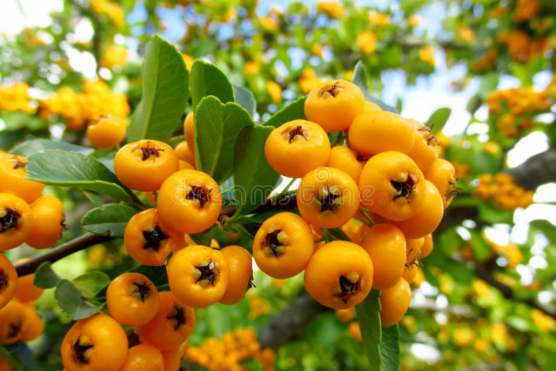 Buckthorn orange berries. On the green bush growing in the wild nature, blue sky behind. Summer berries stock image
