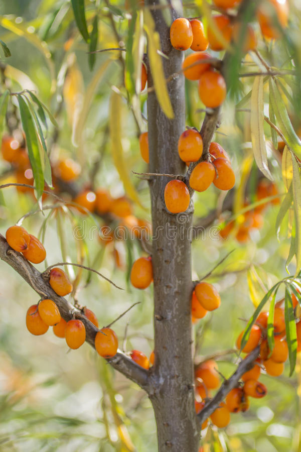 Buckthorn. Tree is very beautiful and catchy looks stock photography