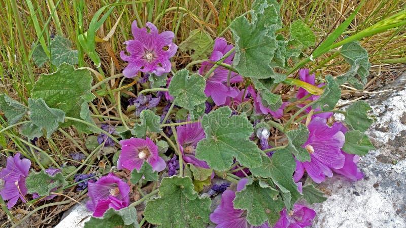 buckwheat fotografia stock libera da diritti