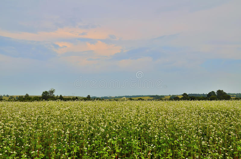 Buckwheat field. Blooming buckwheat field against the background of the sunset sky with pink clouds and hills stock image