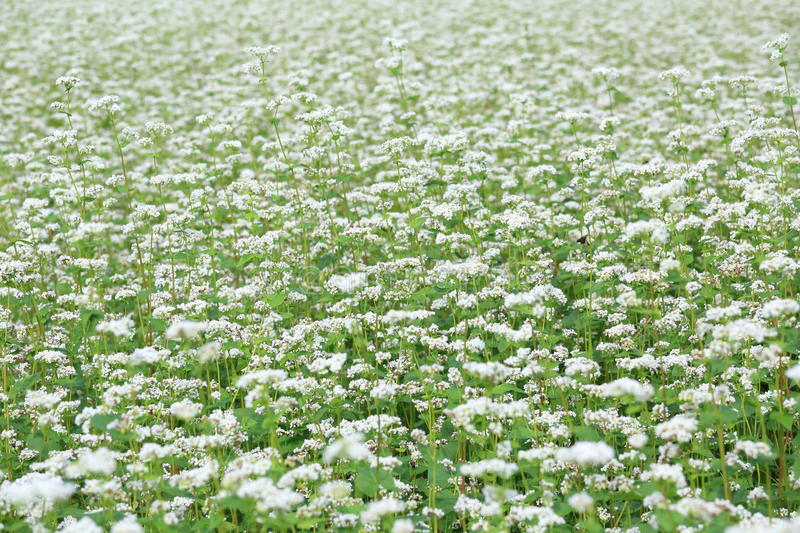 Download Buckwheat field stock image. Image of white, flower, farm - 33227501