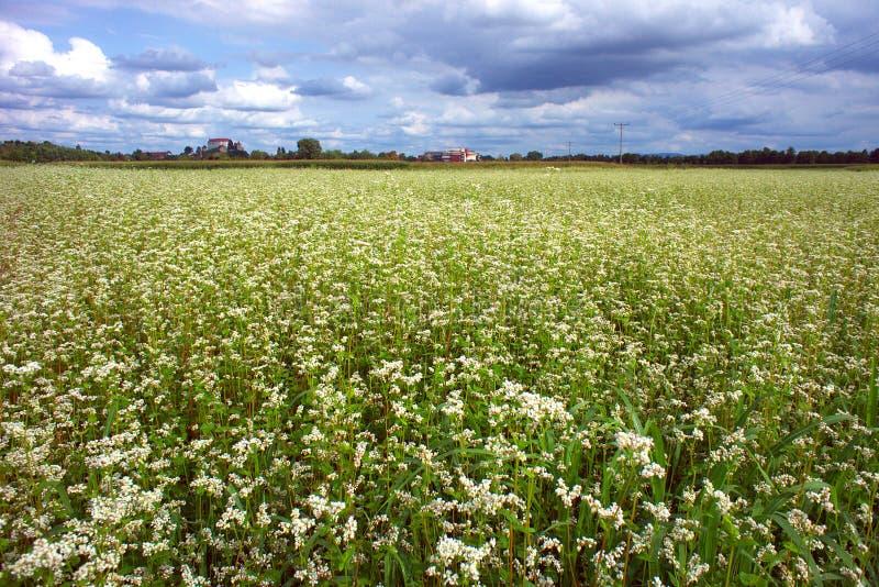 Buckwheat Field In Summer royalty free stock photo