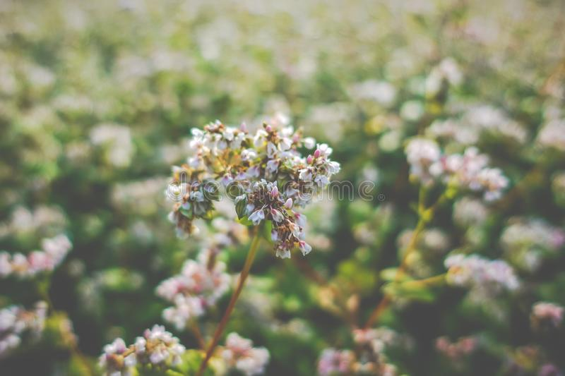 Buckwheat food blooming, agriculture stock image