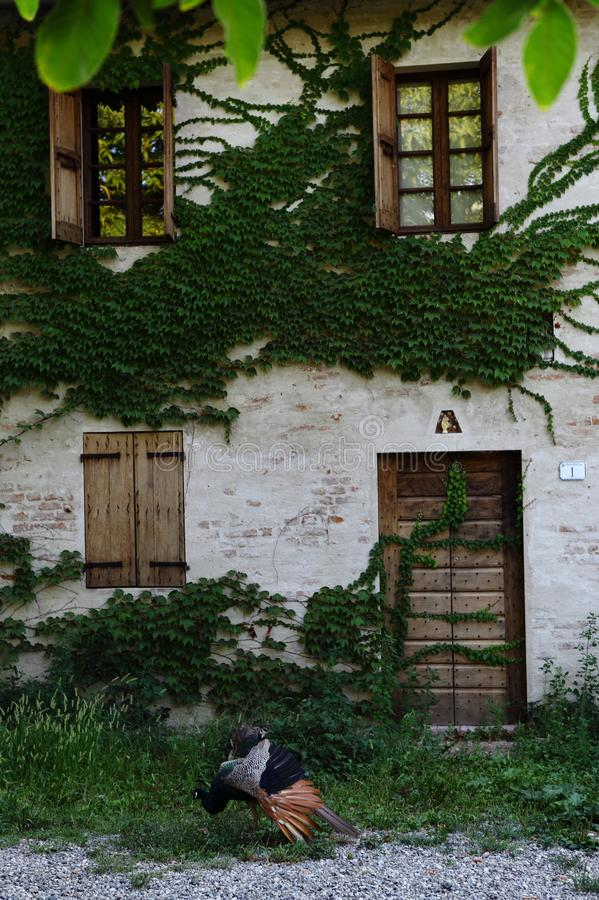 Facade of the old house, door, windows and shutters. Bucolic and romantic image of the facade of the old house with rampiacant ivy, the door and wooden shutters stock photos
