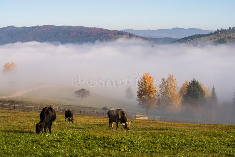 Bucovina village autumn landscape in Romania with caws and mist stock image