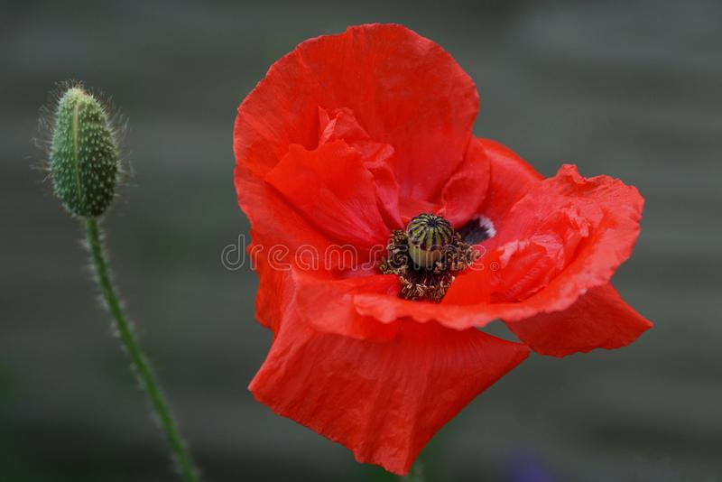 Bud of a big red poppy flower on a green stalk stock photo