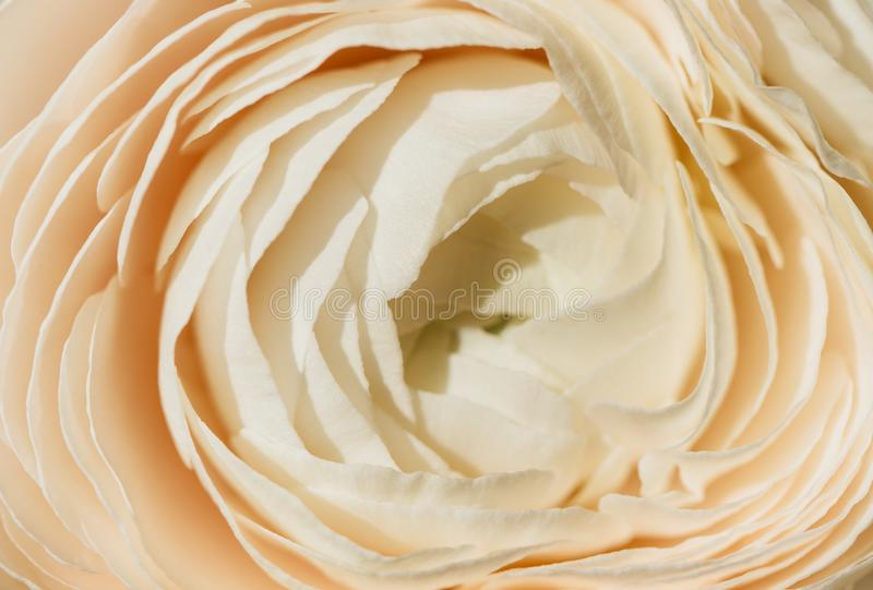 Bud buttercup close up, macro. Background of flowers, Texture of the ranunculus. royalty free stock photo